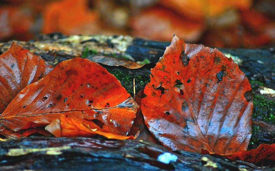 Beech, Leaves, Autumn, Red