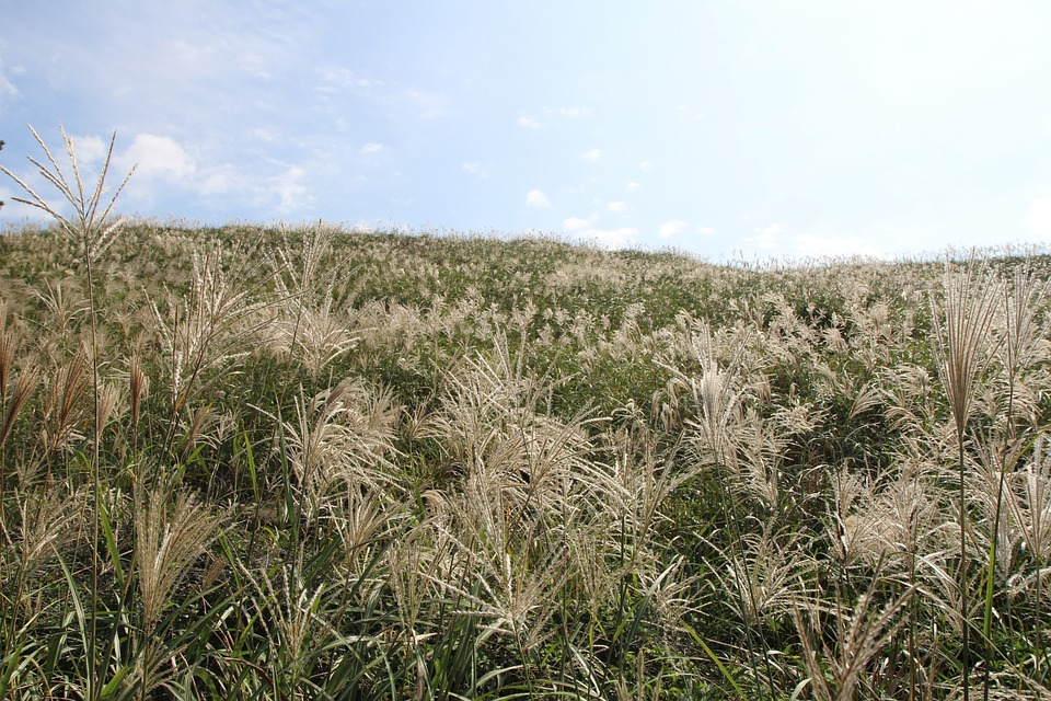 Reed, Landscape, Autumn
