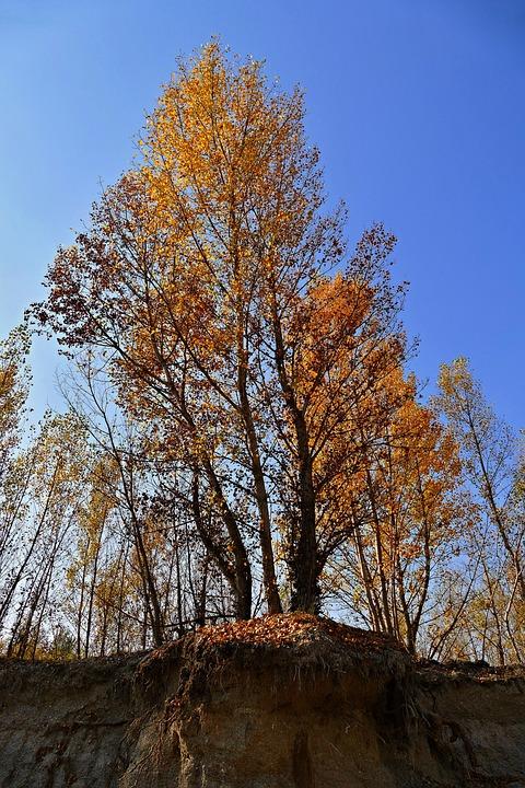 Tree, Poplar, Reef, Nature, Forest, Autumn