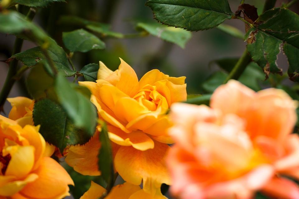 Rose, Flowers, Autumn Rose, Yellow, Orange