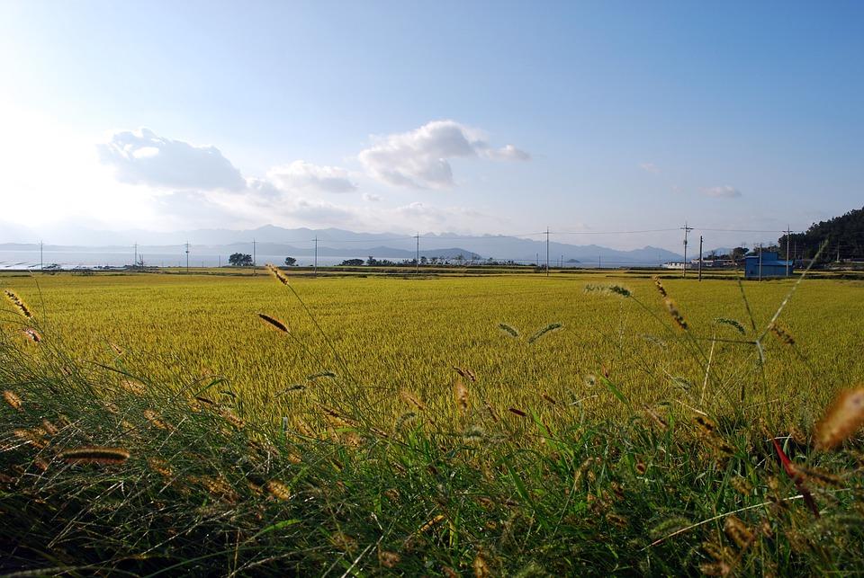 Autumn, Cloud, Scenery, Landscape, Harvest, Rice, Field