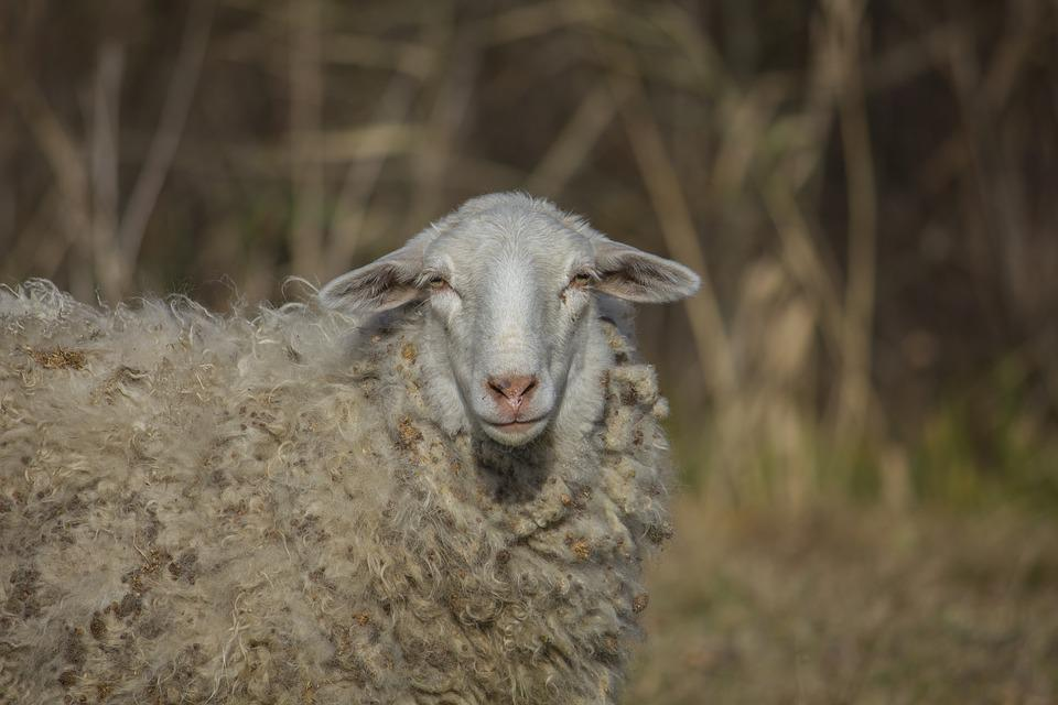 Sheep, Animal, Grass, Dry, Autumn