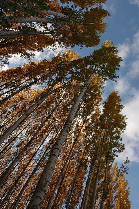 Beautiful And Cold, Autumn, Sky, Trees, Tall, Birch