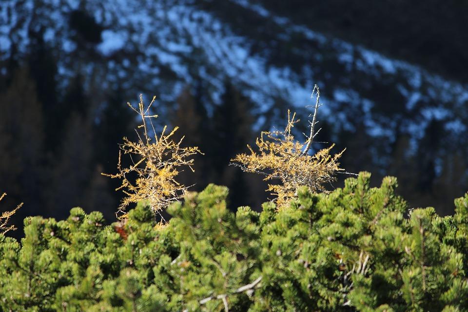 Larch, Mountain Pine, Autumn Snow