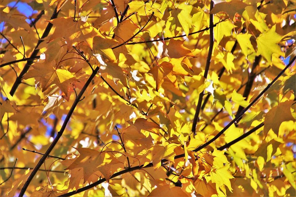 Golden, Sunny, Branch, Tree, Autumn, Foliage