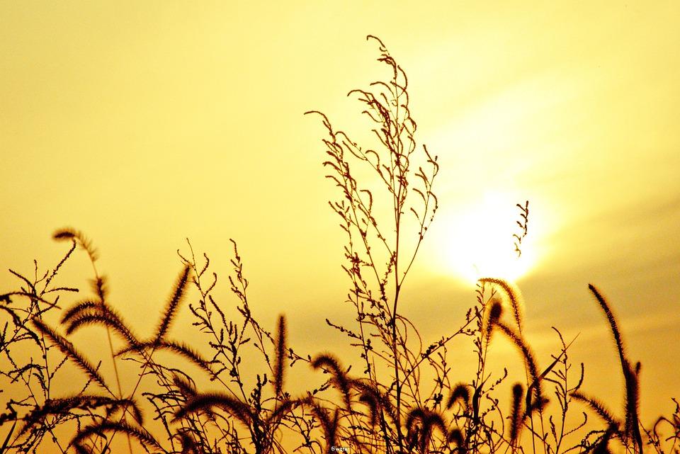 Autumn, Sunset, Rice