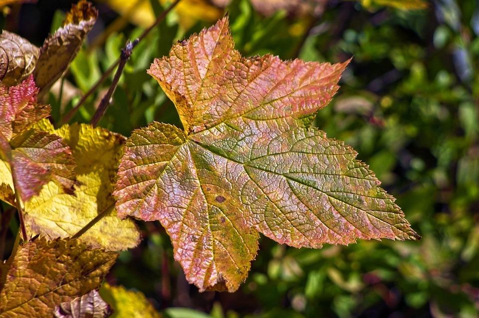 Autumn Thimbleberry Leaf, Color, Leaf, Autumn, Colorful