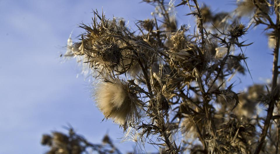Autumn Thistle, Spur, Blossom, Bloom, Thistle, Prickly
