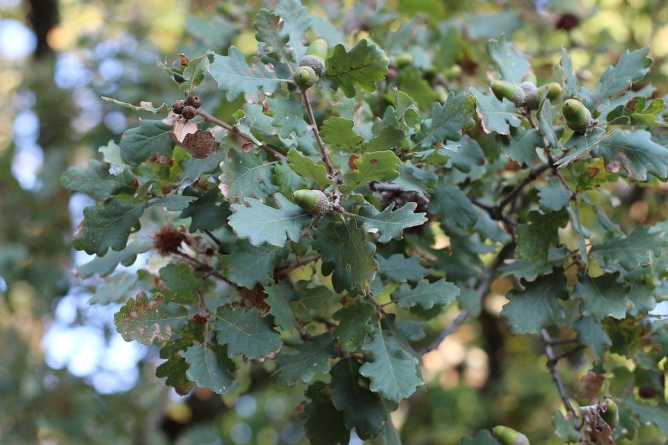 Oak, Tree, Nature, Autumn, Leaves, Acorn, Green, Branch