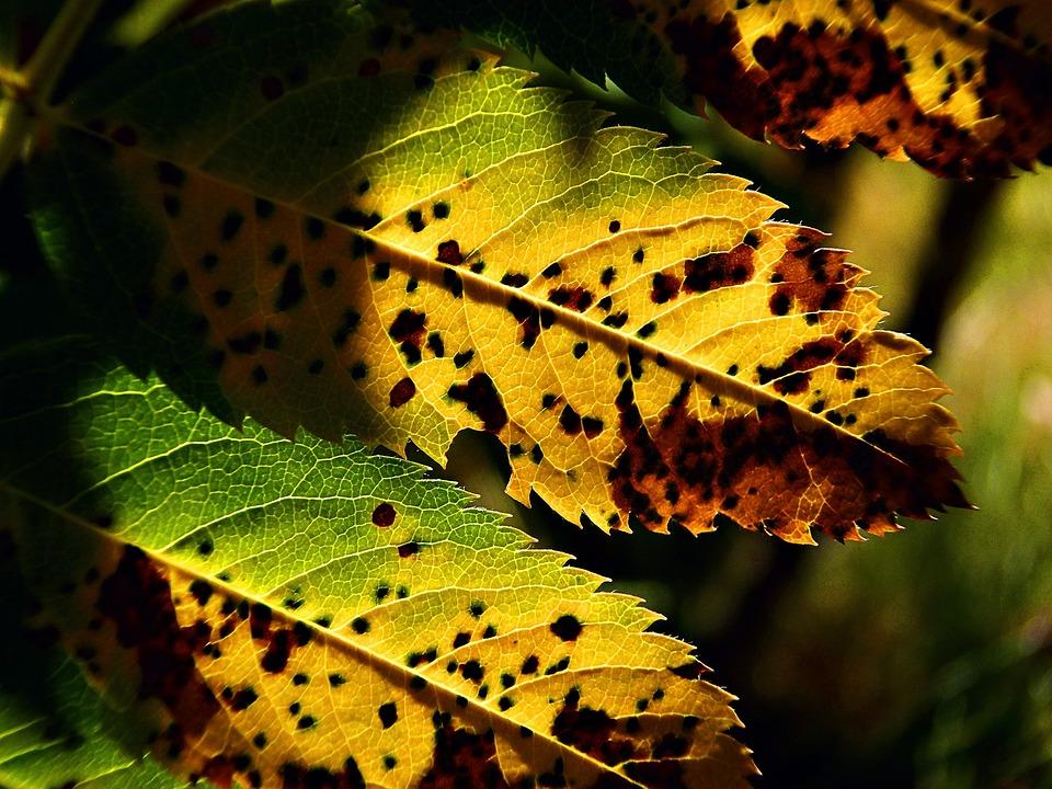 Leaves, Tree, Autumn, Fall, Rowan Tree, Foliage, Shrub