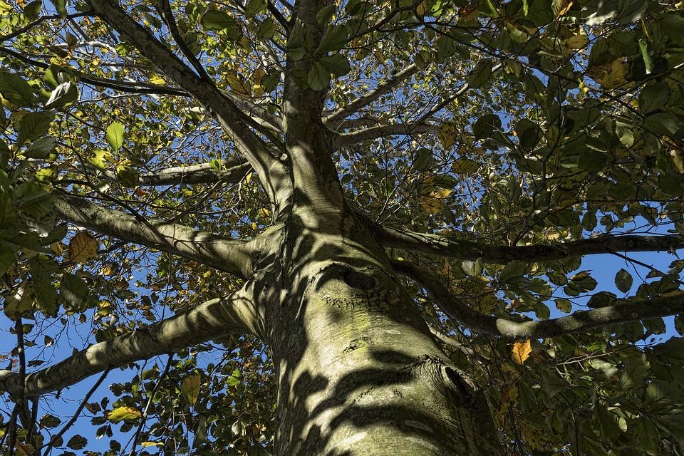 Beech, Tree, Autumn, Leaves, Tribe, Sunny, Aesthetic