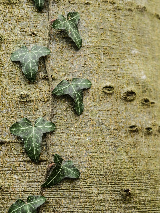Alder, Ivy, Tribe, Tree, Nature, Bark, Leaves, Autumn