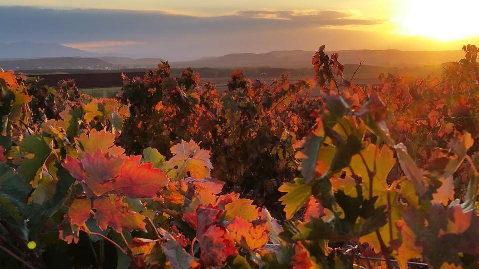 Autumn, Vineyard, Lyng, Rioja, Red, Setting Sun, Sunset