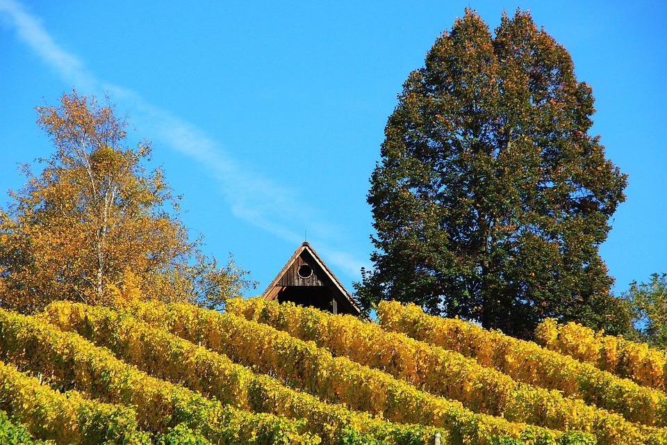 Vineyard, Autumn, Wine, Nature, Winegrowing