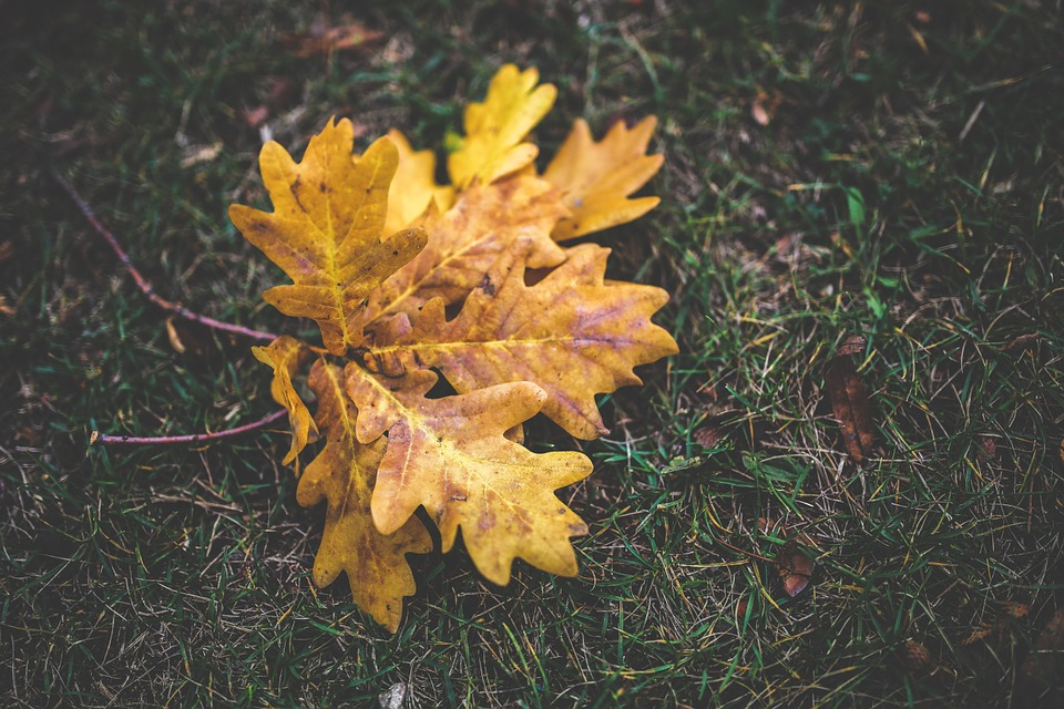 Autumn, Fall, Oak, Leaves, Yellow, Orange