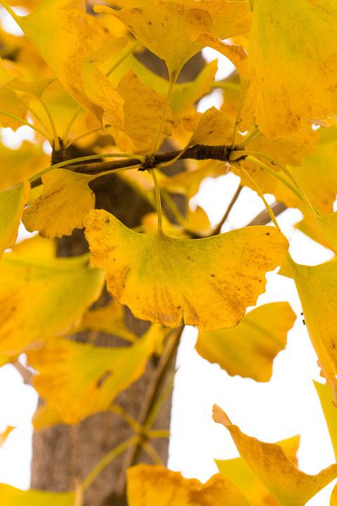 Ginkgo, Autumn, Yellow
