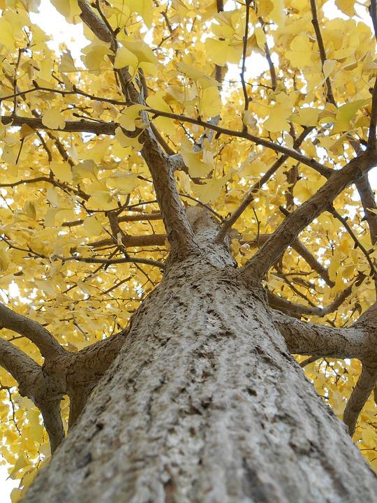 Gingko Tree, Yellow Leaves, Autumn