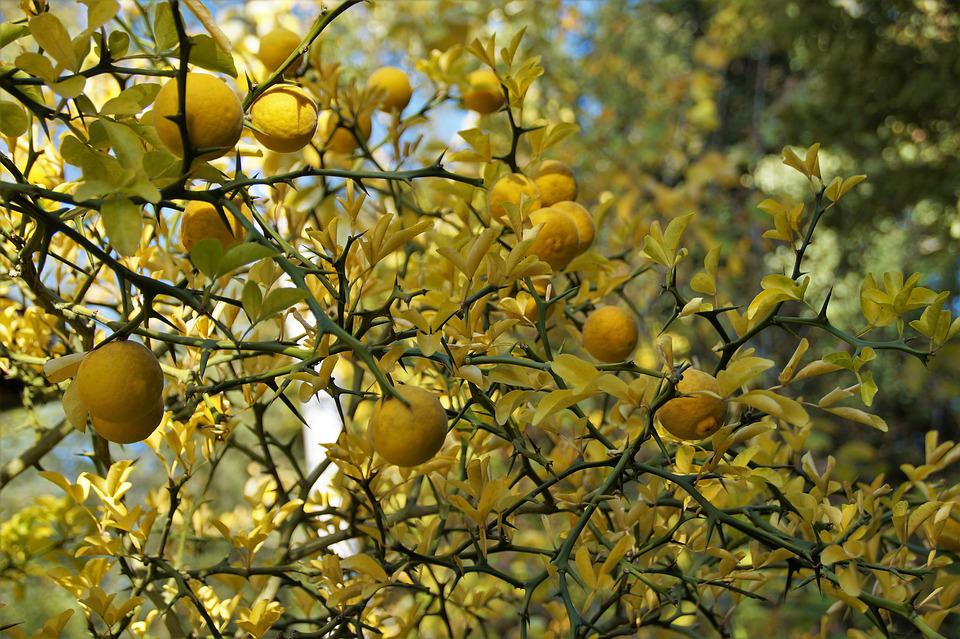 Lemon Tree, Citrusovník, Yellow, Autumn, Colored