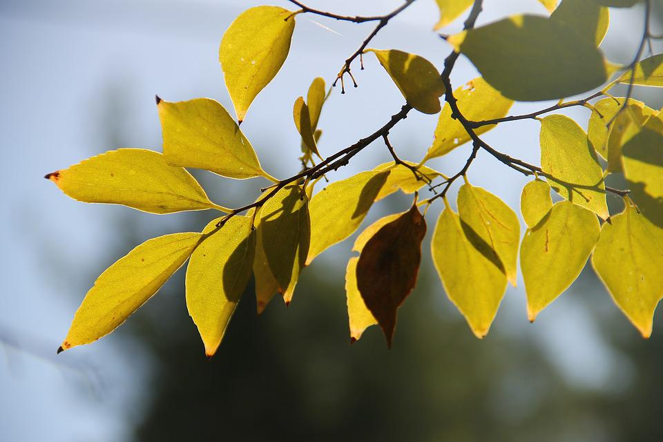 Tree, Lief, Autumn, Natural, Garden, Ecology, Yellow