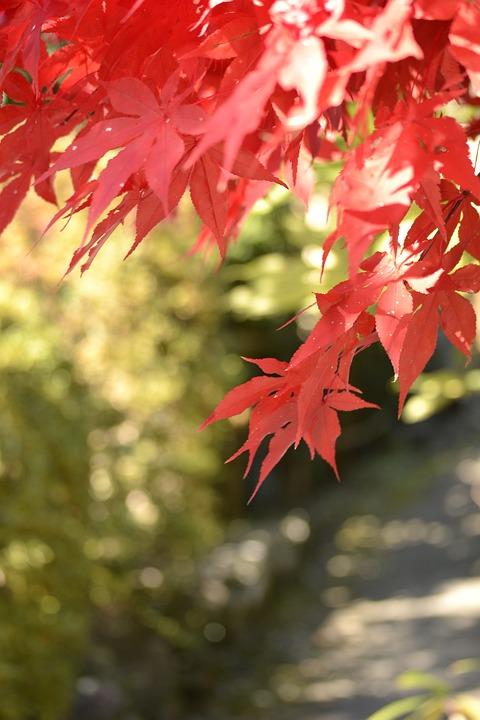 Autumnal Leaves, Maple, Agano