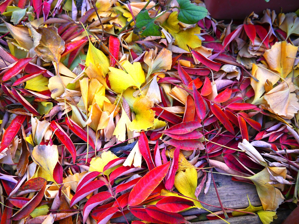 Autumnal Leaves, Yellow Leaves, Red, Huang, Gingko Tree