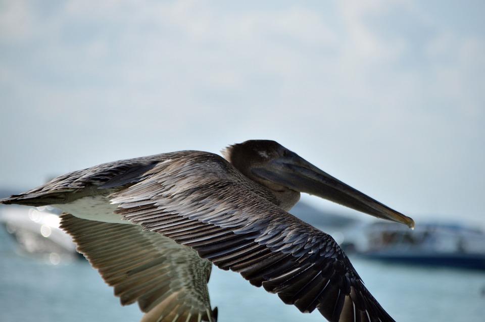Pelican, Ave, Portrait, Flying, Nature, Peak, Animals