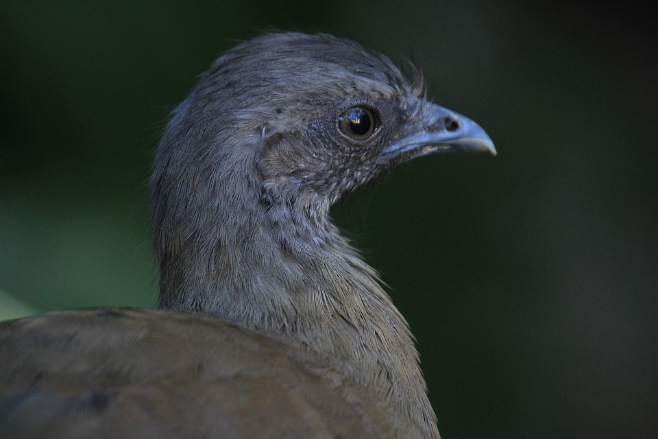 Chachalaca, Ave, Bird, Fauna, Nature, Animal, Animals
