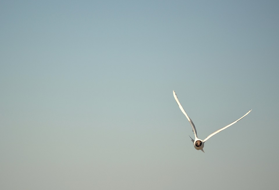 Ave, Seagull, Wings, Freedom, Flight