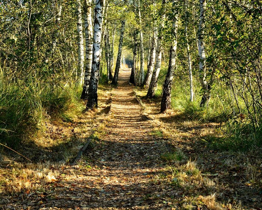 Birch, Avenue, Birch Avenue, Forest Nature, Away, Path