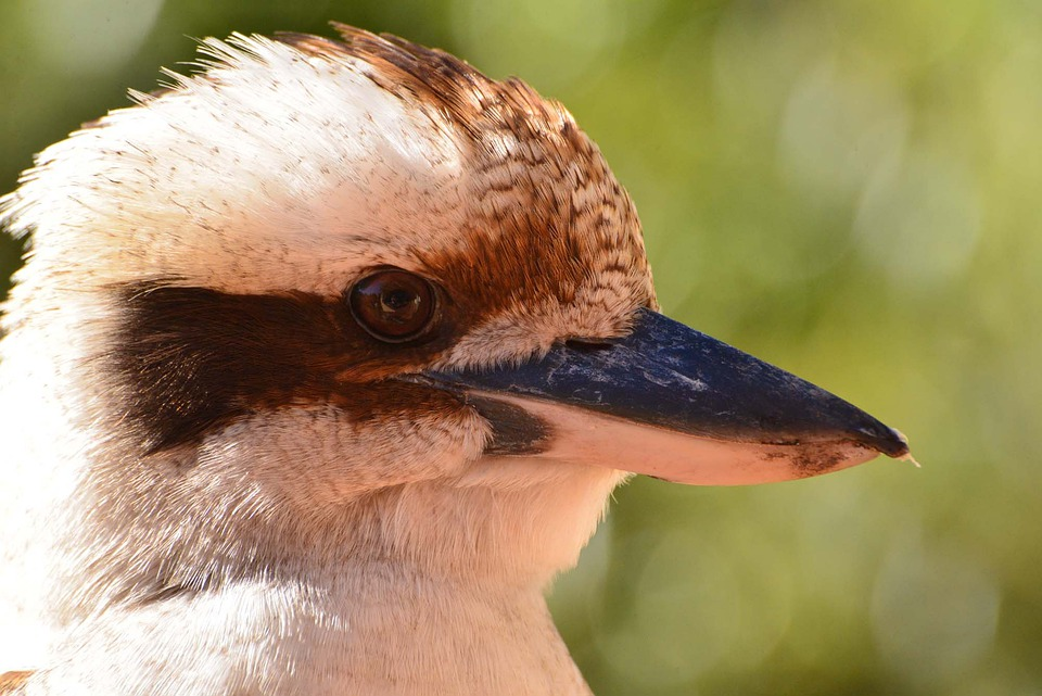 Kookaburra, Bird, Fauna, Wildlife, Aves, Avian