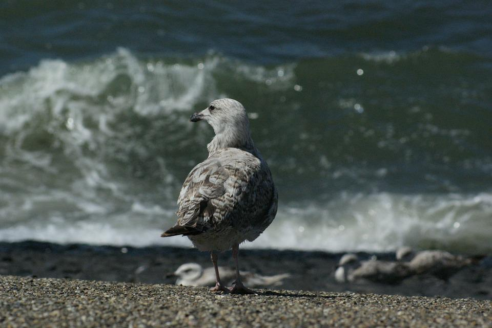 Seagull, Bird, Sea, Shore Bird, Aves, Avian, Fauna