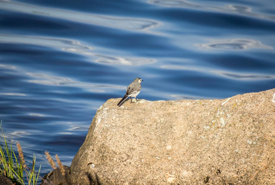 Bird, Water, Stone, Rock, Nature, River, Ave, Avian