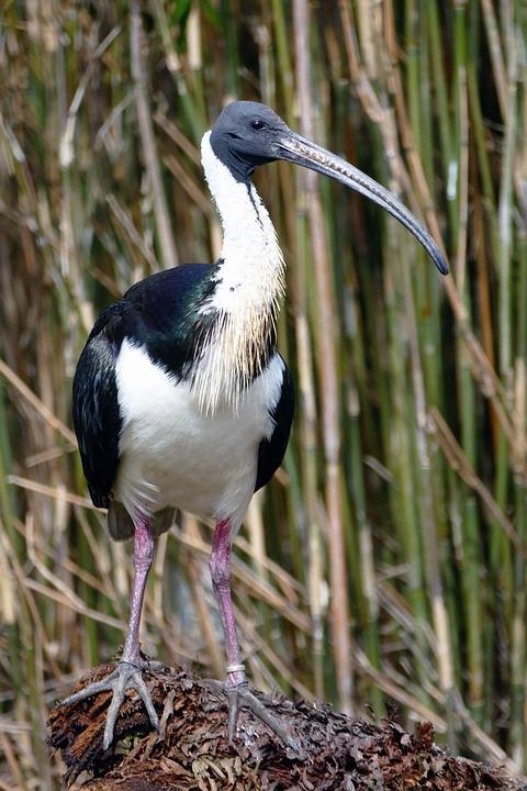 Ibis, Bird, Animal, Wildlife, Wild, White, Beak, Avian
