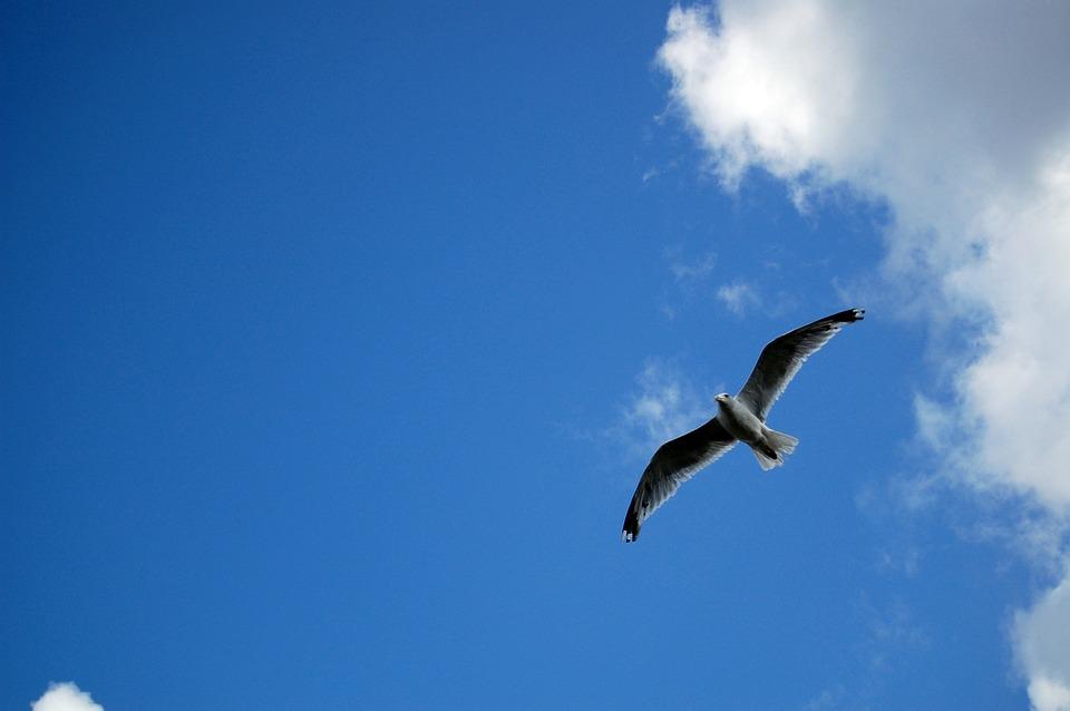 Bird, Seagull, Ornithology, Species, Animal, Avian
