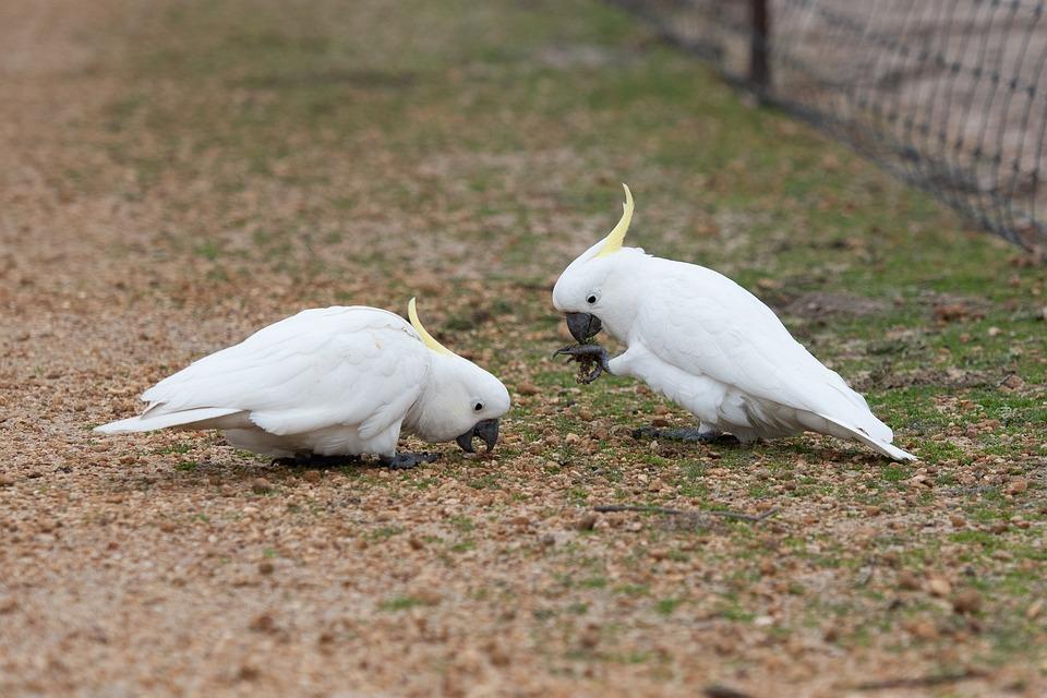 Sulphur Crested Cockatoo, Cockatoo, Bird, Avian