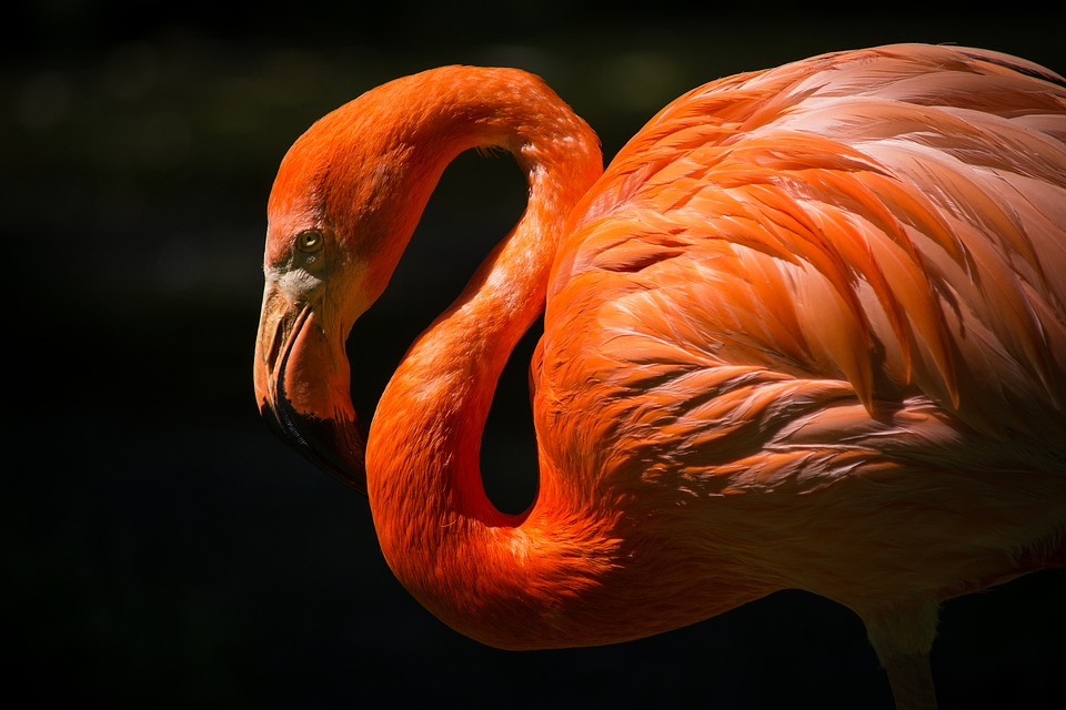 Animal, Flamingo, Avian, Beautiful, Bird, Close-up