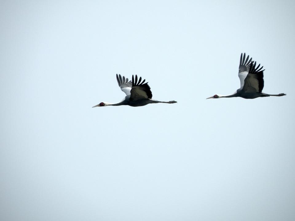 Crane, Birds, Fly, Flight, Avian, Aves, Fauna, Avifauna