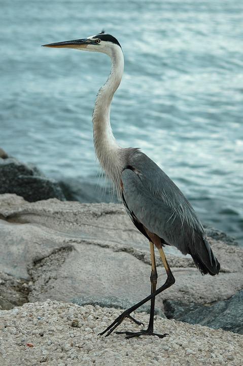 Great Blue Heron, Heron, Egret, Bird, Avian, Wildlife