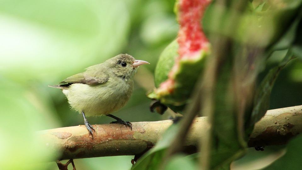 Tickell's, Flower, Pecker, Bird, Avian, Little, Nature