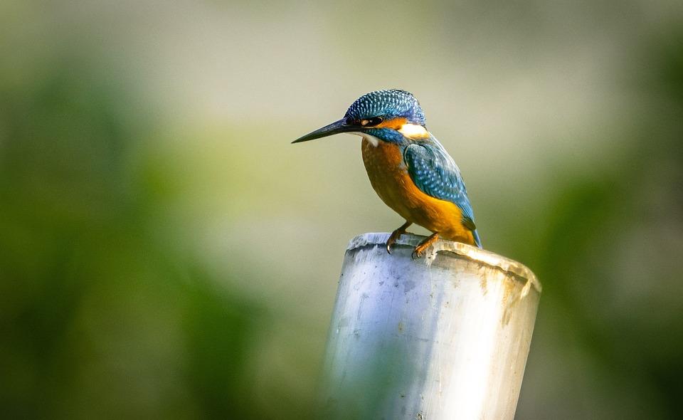 Kingfisher, Bird, Perched, Avian, Animal, Nature
