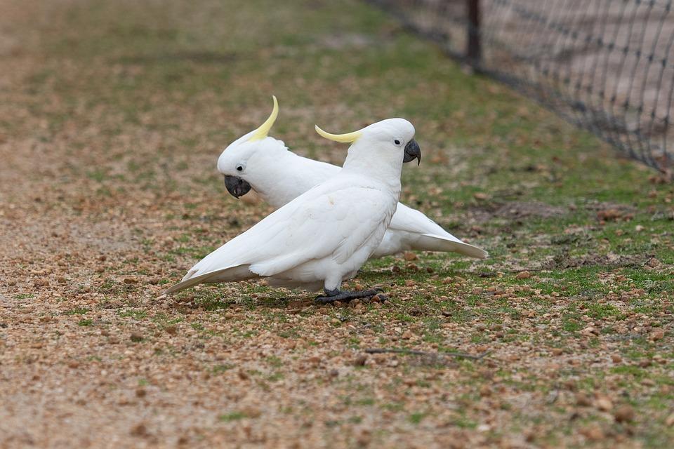 Sulphur Crested Cockatoo, Cockatoo, Parrot, Bird, Avian
