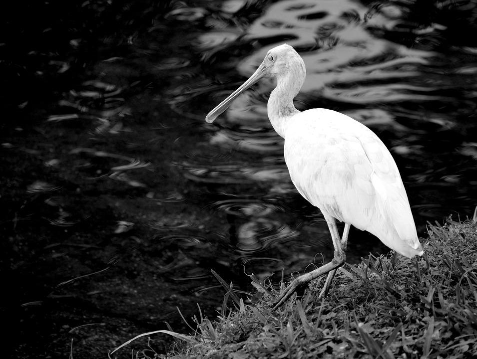 Spoonbill Bird, Avian, Tropical Bird, Marshland