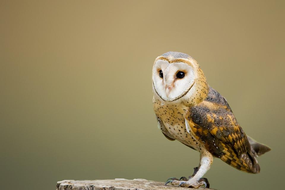Barn Owl, Avian, Bird, Composite, Perched, Tree Stump
