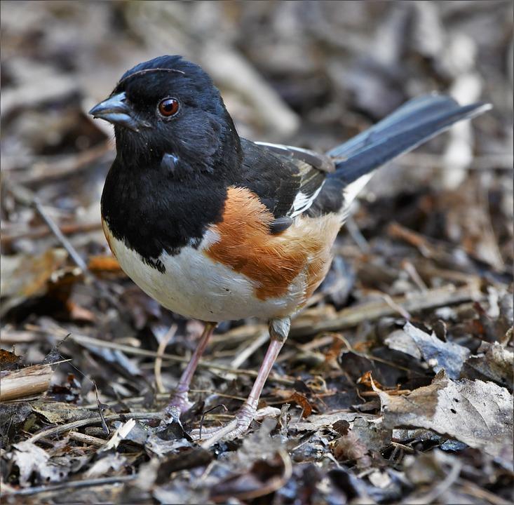 Bird, Towhee, Wildlife, Avian