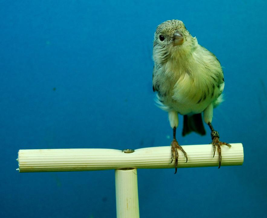 Canaries, Black Opal, Aviary