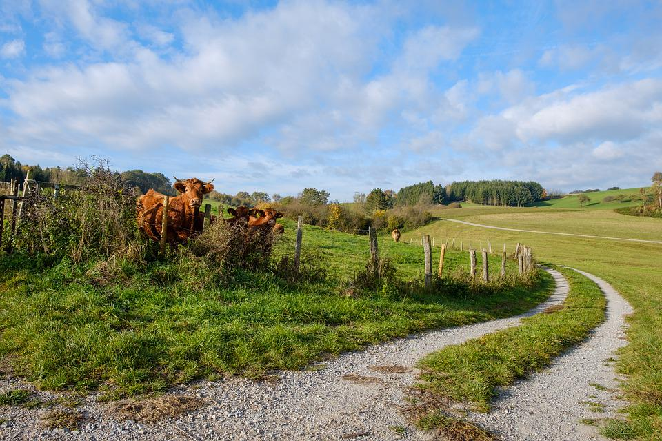 Away, Road, Forest Road, Lane, Cows, Cattle, Fence