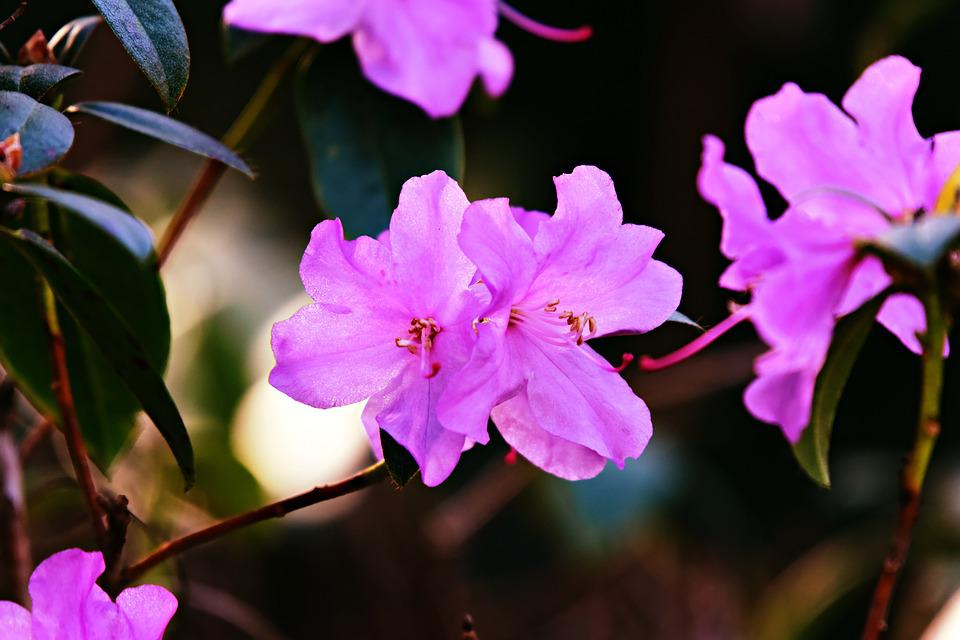 Azalea, Flower, Shrub, Rhododendron, Pink, Bloom