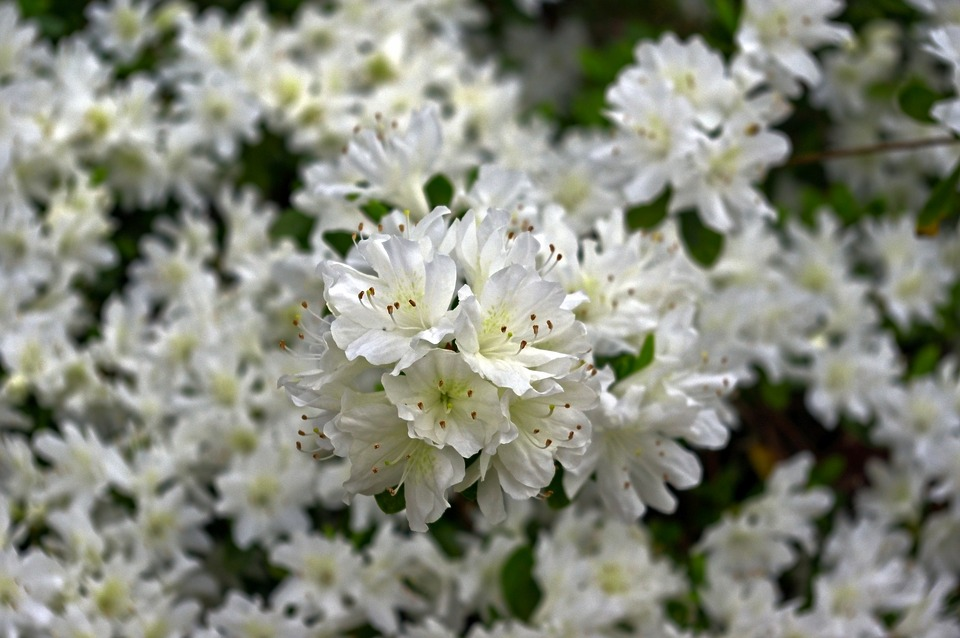 White Azaleas In Ozarks, Blossoms, Azalea, Bloom