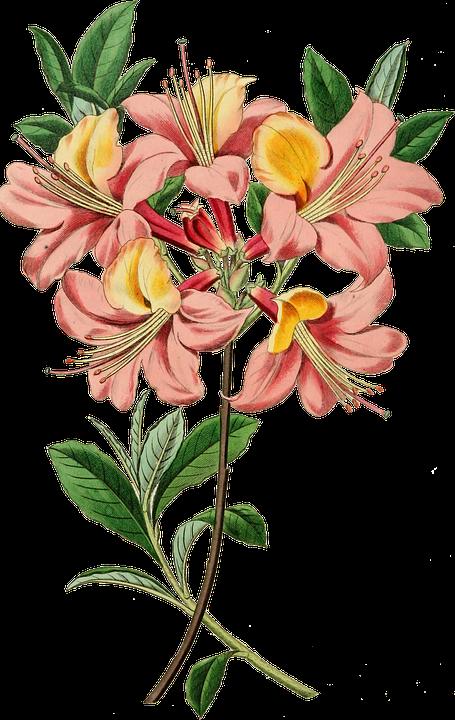 Vintage, Azalea, Flowers, Garden Plants, Candelulacea