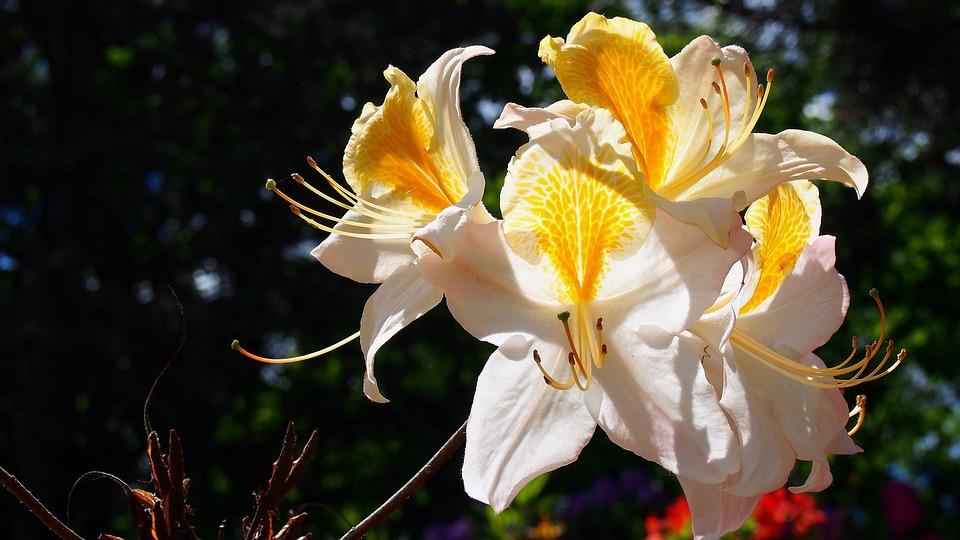 Azalea, Blooms, Flower, Spring, Nature, Plant, Bloom